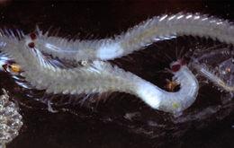 Image of Odontosyllis