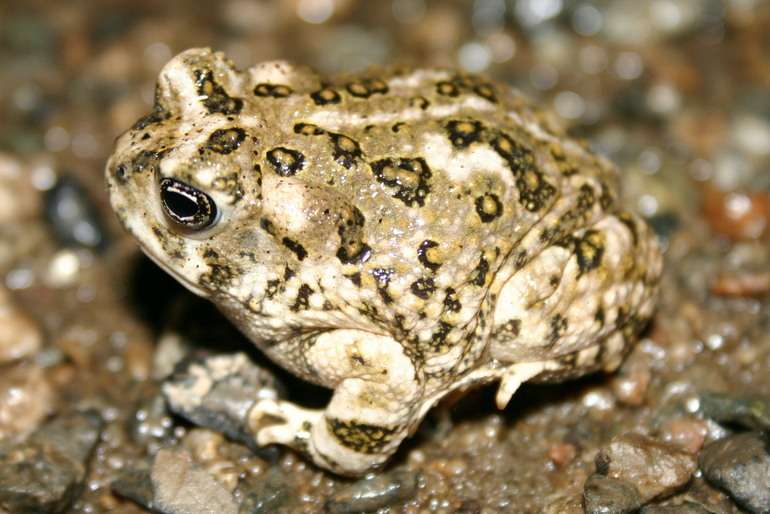 Image of Arroyo toad