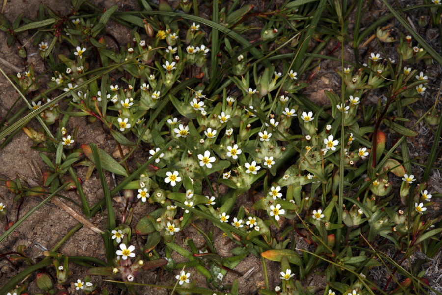 Image of Small-Flower Starlet