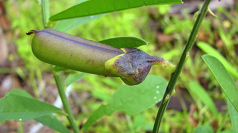 Image of Rattlepod
