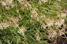 Image of <i>Asperula aristata</i> L. fil.