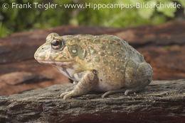 Image of Ornate frog