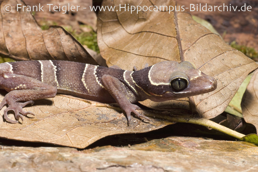 Image of Malayan Forest Gecko
