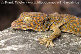 Image of Tokay Gecko