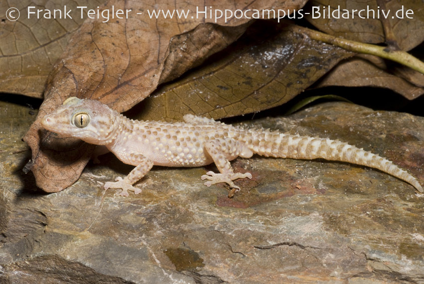 Image of Mocquard's Madagascar Ground Gecko