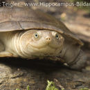 Image of African mud terrapins