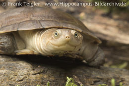 Image of Helmeted Turtle