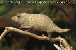 Image of Bearded Pygmy Chameleon