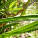 صورة <i>Carex gynodynama</i> Olney