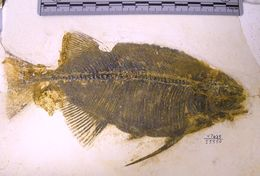 Image of Phareodus Leidy 1873