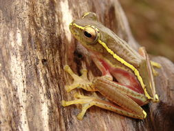 Image of Boulenger's Tree Frog