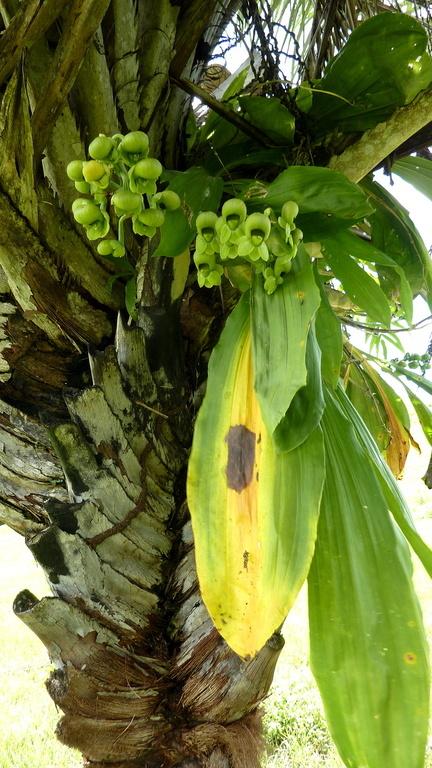 Image of Large-fruited Catasetum