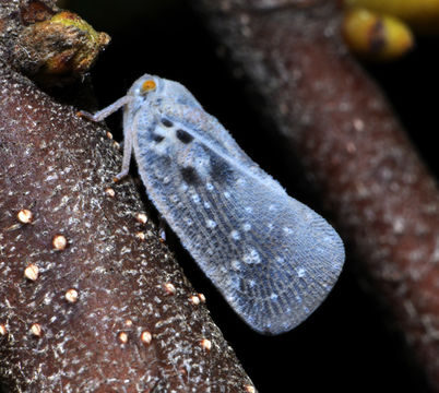 Image of Citrus Flatid Planthopper