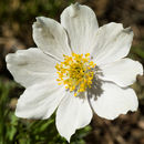 Image of Drummond's anemone