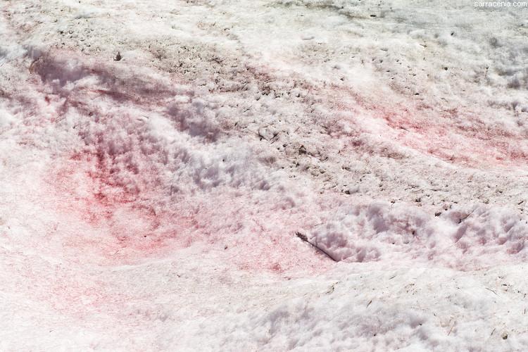 Image of snow alga