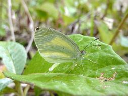Image of <i>Eurema daira</i> ssp. <i>eugenia</i> (Wallengren 1860)
