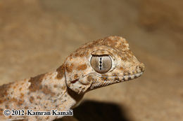 Image of Persian Spider Gecko