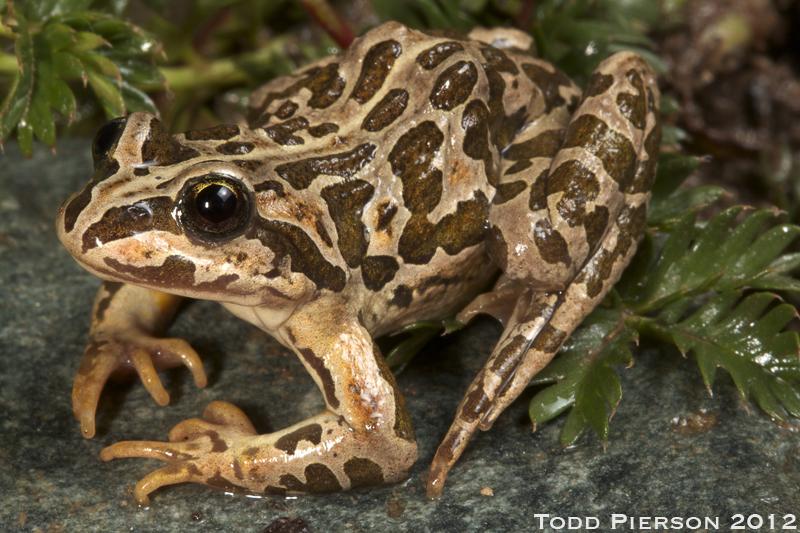 Image of Plateau Frog