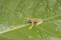 Image of <i>Duellmanohyla schmidtorum</i> (Stuart 1954)