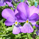 Image of <i>Viola corsica</i> Nyman
