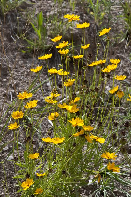Image of <i>Coreopsis grandiflora</i> Hogg ex Sw.