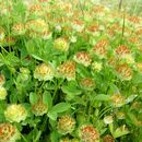Image of cup clover