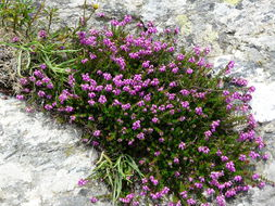 Image of Bell Heather