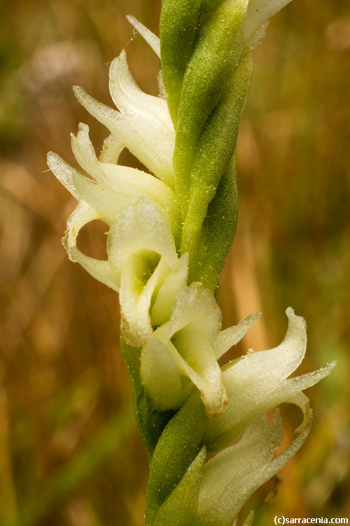 Image of hooded lady's tresses