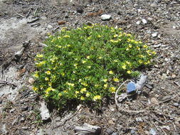 Image of Yolla Bolly bird's-foot trefoil
