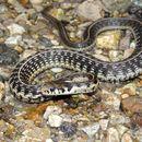 Image of Godman's Garter Snake