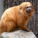 Image of Golden Lion Tamarin