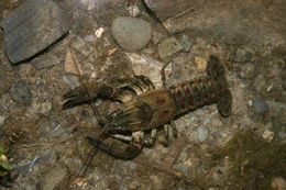 Image of Spinycheek Crayfish