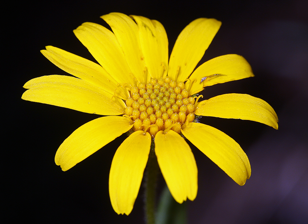 Image of clasping arnica