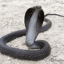 Image of Indian Cobra