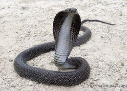 Image of Indian Cobra
