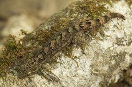 Image of Turnip-tailed gecko