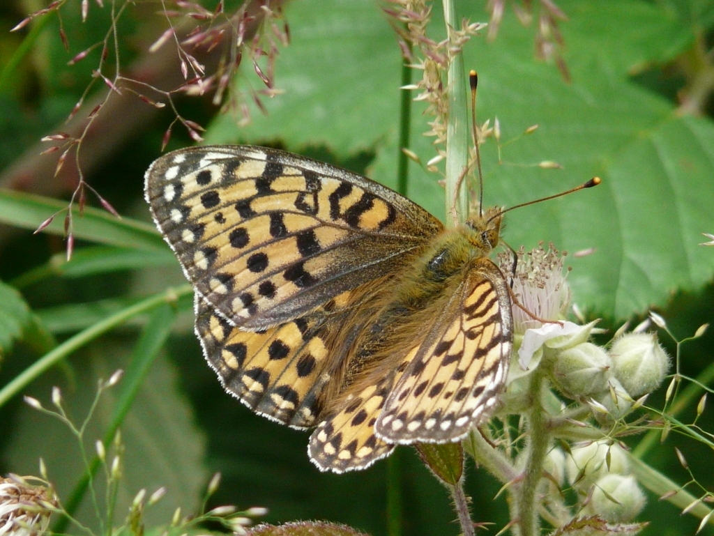Image of Dark Green Fritillary