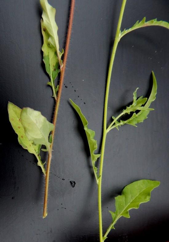 Image of fourwing evening primrose