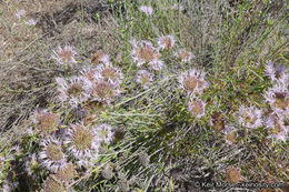 Image of Willowy Mountainbalm
