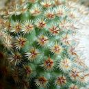 Image of <i>Mammillaria crucigera</i> Mart.