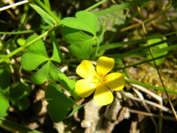 Image of Suksdorf woodsorrel