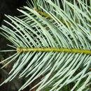 Image of <i>Abies guatemalensis</i> var. <i>jaliscana</i> Martinez