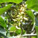 Image of <i>Sycopsis sinensis</i> Oliver