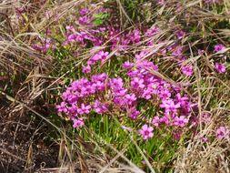 Image of <i>Oxalis articulata</i> ssp. <i>rubra</i> (A. St.-Hil.) Lourteig