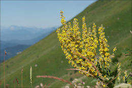 Image of white mullein