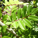 Image of <i>Sorbus microphylla</i> (Wall. ex J. D. Hooker) Wenzig