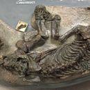 Image of <i>Cynariognathus platyrhinus</i>