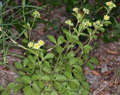 Image of <i>Drymocallis <i>glandulosa</i></i> glandulosa