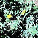 Image of <i>Dendromecon harfordii</i> var. <i>rhamnoides</i> (Greene) Munz