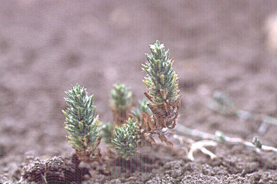 Image of profuseflower mesamint